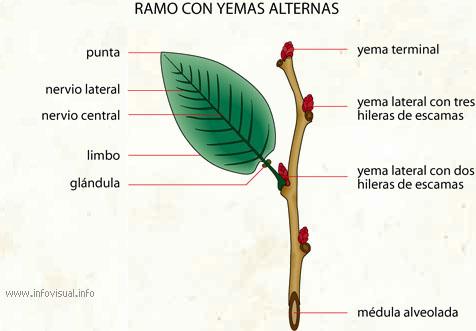 Introducción a la anatomía vegetal - ALIPSO.COM: Monografías ...