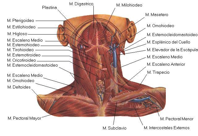 Dolor en la parte superior del hueso de la mama