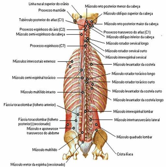 Perfecto Columna Lumbar Anatomía Muscular Colección de Imágenes ...