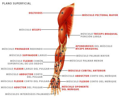 La estructura del cuerpo humano - ALIPSO.COM: Monografías, resúmenes ...