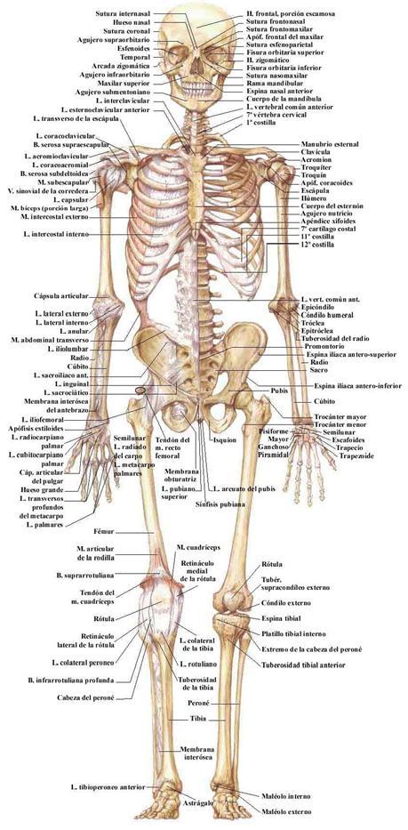 la estructura del cuerpo humano