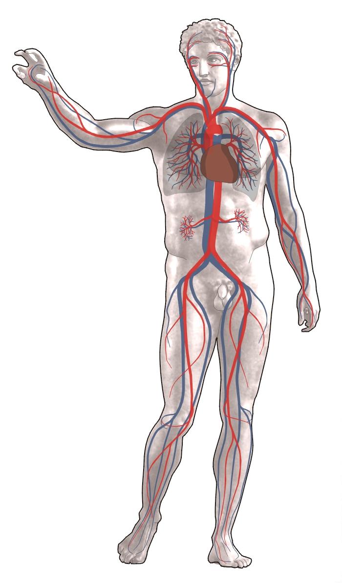 Circuito Sanguineo : El cuerpo humano: sistema respiratorio y circulatorio alipso.com
