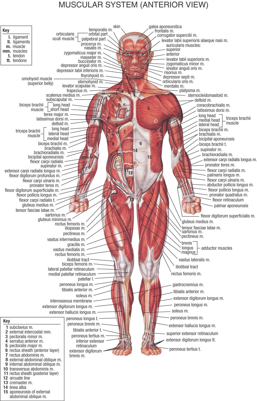 Se elabora una proteína que es secretada a la sangre